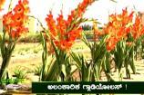 ಅನ್ನದಾತ: ಗ್ಲಾಡಿಯೋಲಸ್ ಹೂವಿನ ಕೃಷಿಯ ಬಗೆಗಿನ ಮಾಹಿತಿ