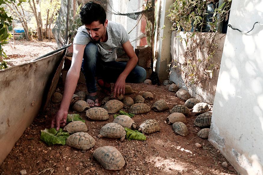 ತನ್ನ ಸಾಕು ಪ್ರಾಣಿ ಆಮೆಗಳಿಗೆ ಆಹಾರ ನೀಡುತ್ತಿರುವ ಪ್ಯಾಲೆಸ್ತೀನ್ ನಿವಾಸಿ